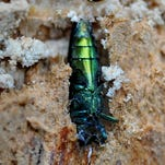 In this file photo from 2014, an adult emerald ash borer, an invasive beetle native to Asia, is exposed under the bark of an ash tree along Butterville Road in New Paltz.