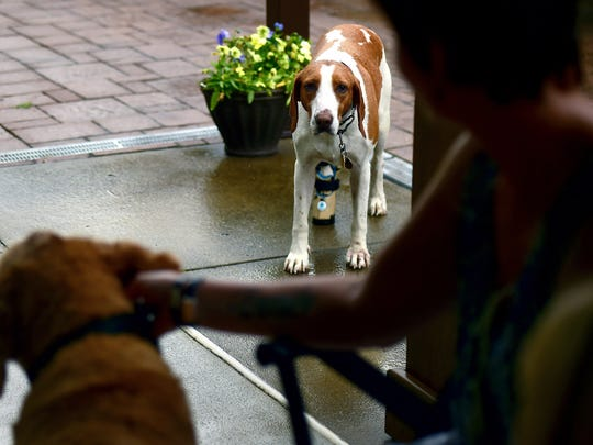 Sadie, an American foxhound, went missing from West Virginia hunt club in 2014 and ended up caught in a coyote trap in Broome County, NY, in 2017. Sadie was adopted by Chenango dog control officer Linda Hamilton, who took the injured dog to Cornell University Hospital for Animals, where she was fitted with a prosthetic leg.