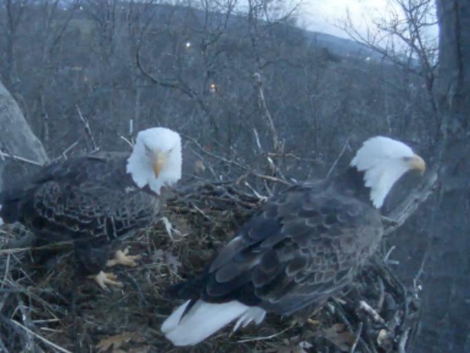 The second day of a Hanover eagle cam livestream