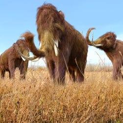 Woolly Mammoths could be 'de-extinct' in 2 years
