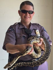 Animal control officer Kimberly Mink controls a 9-foot boa constrictor that went missing and was found in Nampa, Idaho.