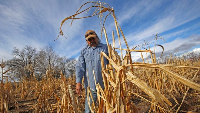 Earl Yazzie walks through his corn field, Wednesday at his farm in Shiprock. Yazzie used water for irrigation that was trucked in during the Gold King MIne spill but his crops did not mature.