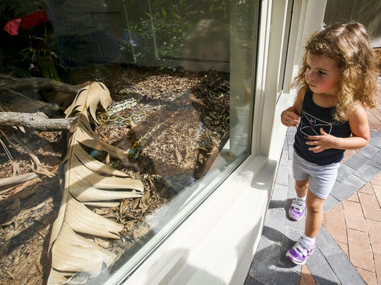 Paige Biddison, 3, of South Fort Myers, checks out the new Python exhibit. Naples Zoo opened a python exhibit to better educate the public about the impacts of invasive species. Burmese pythons are one of the most damaging invasives we have -- eating endangered species and competing with them for space and food. June 12, 2015.
