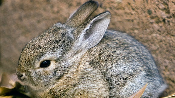 ---6-19-09----A baby cottontail rabbit sits in the