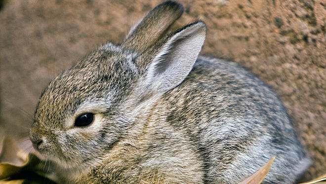 ---6-19-09----A baby cottontail rabbit sits in the backyard of an Ahwatukee home, Friday, 5-1-09.Photo by Tom Tingle/The Arizona Republic