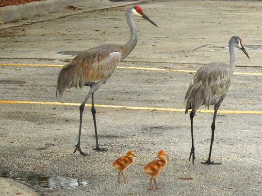 Mom, dad, and the kids. A family of sandhill cranes looks for lunch in Viera off of north Wickham Road.