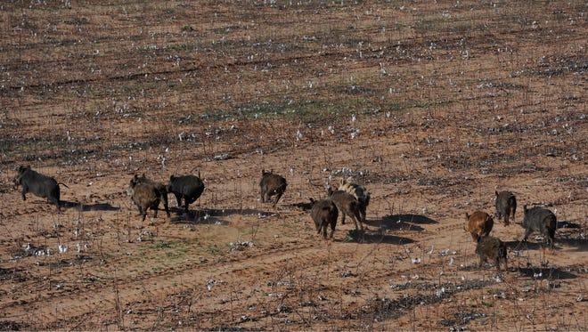 Feral hogs run across a cotton field Feb. 25 in Fisher County.