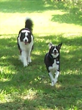 Jesse and Rio come to their owner with joy and speed!