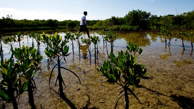 Eric Milbrandt, the director of the Sanibel Captive Conservation Marine Lab documents red mangroves that were planted by him and volunteers in Clam Bayou.