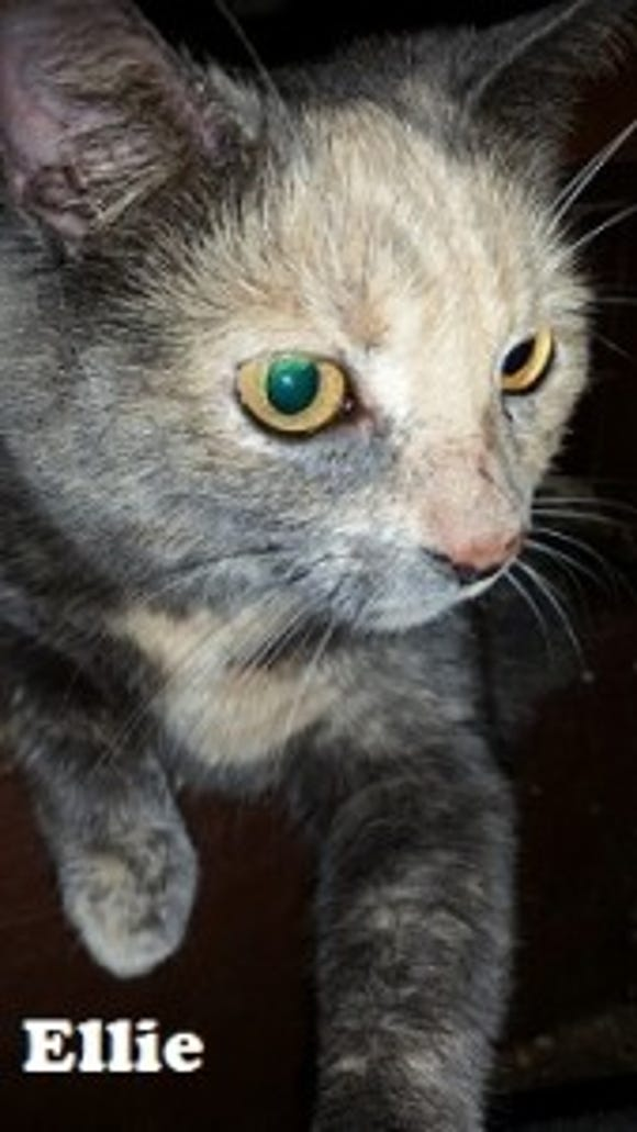 Ellie was the first of Laurie's cats to be caught in a humane trap. She was adopted by Janet Sanderson of Dover Township, who also adopted Ellie's best bud, Susie Q