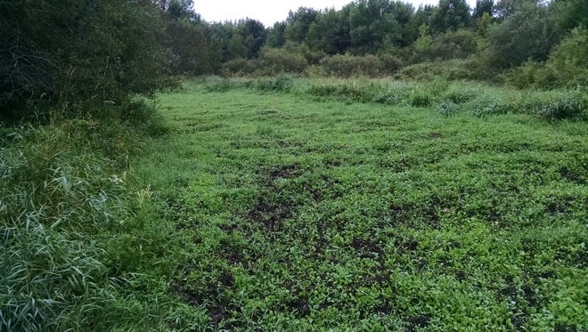 Three weeks after seeding, a small food plot is emerging on hunting property that is managed to improve deer habitat.