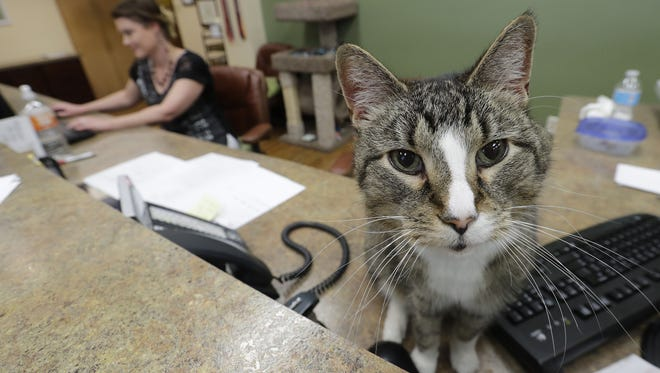 Spartacus watches the comings and goings at Parkside Animal Care Center from the receptionist desk with Amber Rinehard-Lotter. He's lived at the Green Bay clinic for the last six years.