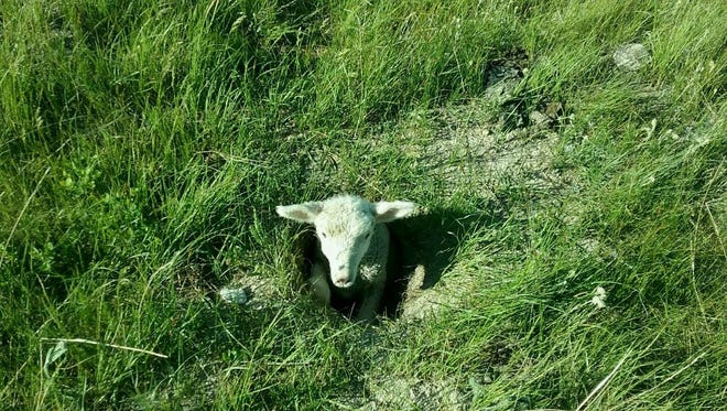 This lamb found an abandoned badger hole and could not climb out. Fortunately, Steve Hutton rescued it. After a long drink of water, the lamb is happy and healthy again.