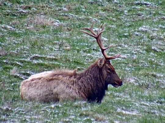 An image from the elk cam located at the North Cumberland