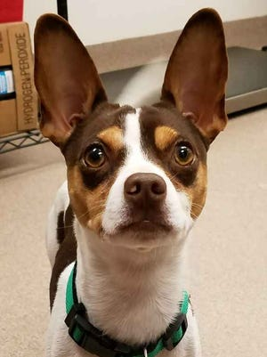 Scooter is a 2-year-old chihuahua/terrier mix who came into the shelter as a stray. We think he might have some bat in him - look at those ears! Scooter can be a little shy when he first meets people, but once he knows he can trust you, you will have a friend for life.
