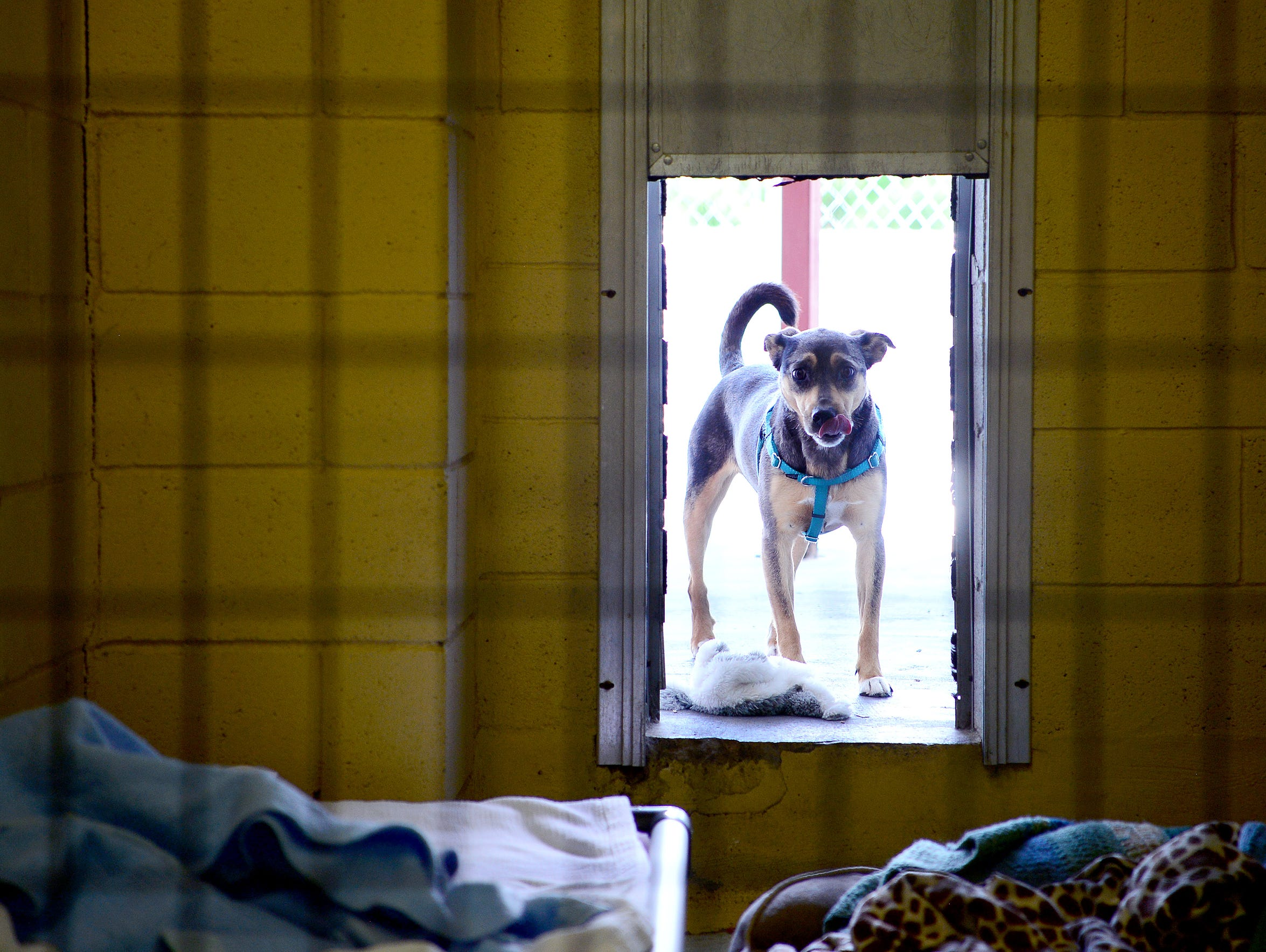 Pockets, a dog available for adoption, peers into a
