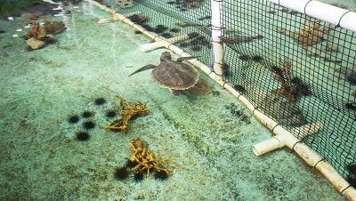 """Gulf Specimen Marine Lab will host the sixth annual """"Sharks and Chablis"""" fundraiser to benefit its sea turtle rehabilitation facility."""