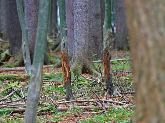 Only a mature deer with an impressive rack could make these kinds of territorial scrapes on trees.