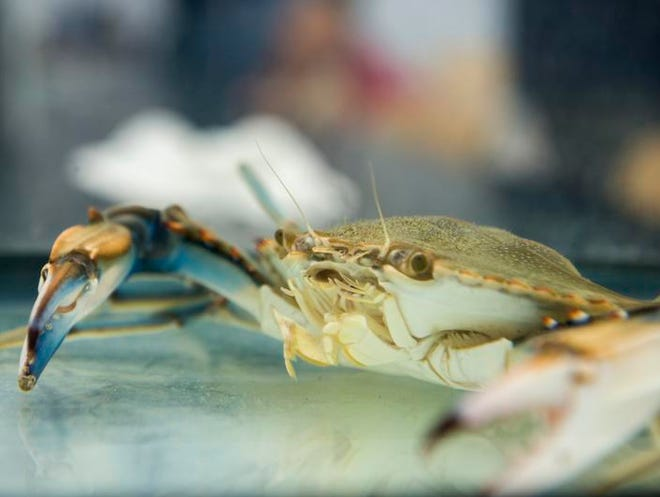 In the span of about three years,  the blue crab undergoes a complex life cycle shaped by currents, which take them from bay to ocean and back again.