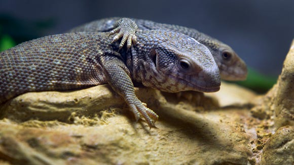 Lizards at the share a hug at the Phoenix Herpetological Society in Scottsdale.