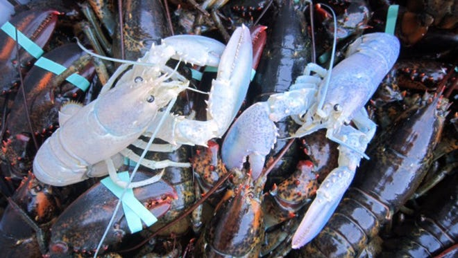 Two albino lobsters sit in a crate Sept. 5, 2014, with other lobsters at Owls Head Lobster Co. in Owls Head, Maine.