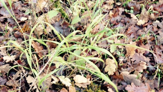 Once false brome become established, it spreads and can overwhelm native vegetation