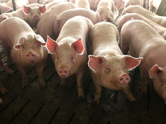 Hogs occupy pens at a confinement facility near Ayrshire,