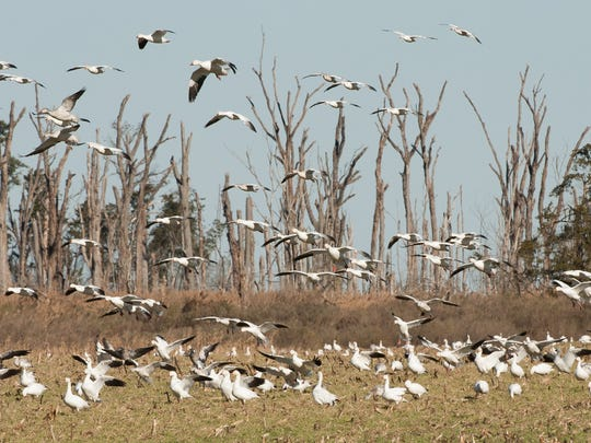 Snow geese fly over a farm field near Prime Hook National Wildlife Refuge in Milton.