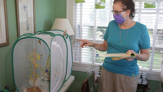 Barbra Lewis, of Perry Township, helps to nurture caterpillars that become monarch butterflies from her Genoa Avenue NW home. She points out and discusses the net caging where adult butterflies reside prior to being released into the wild.