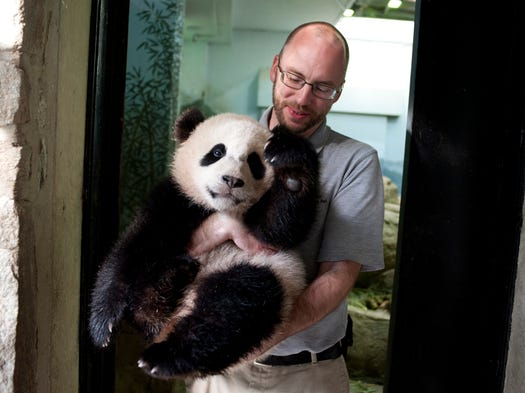 Animal keeper Marty Dearie of Bowie, Md., holds 8-month-old giant panda cub, Bao Bao, in the panda house at the Smithsonian National Zoo in D.C. after waking her up for the day.