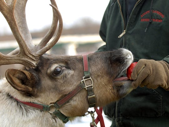 Dave Aldrich gives his reindeer an apple for a treat at the Holt-Delhi branch of the Capital Area District Library in Holt.