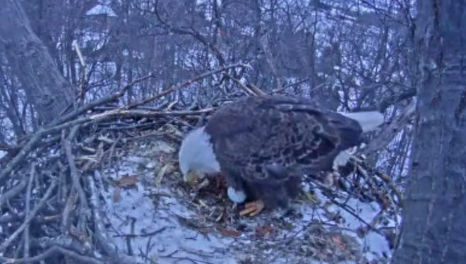 Viewers of the Hanover eagle cam believe the female eagle laid an egg on February 10, 2017.