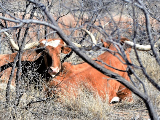 Longhorn cattle rest in the brush at Snipes Ranch near Aspermont.
