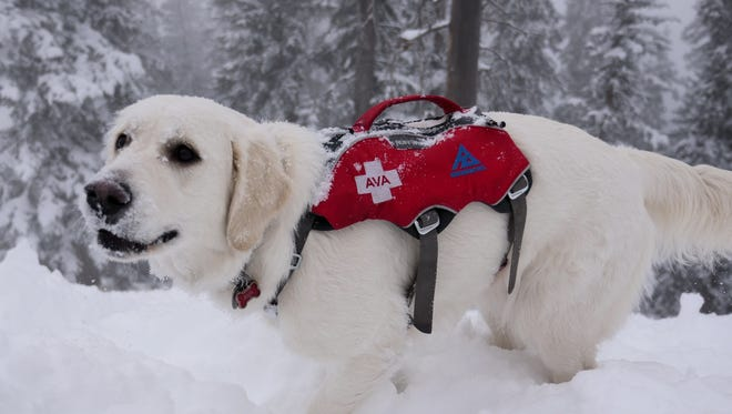 Ava, an English cream golden retriever, is nearing the end of her first year of training to be an avalanche rescue dog. Training takes about two years.