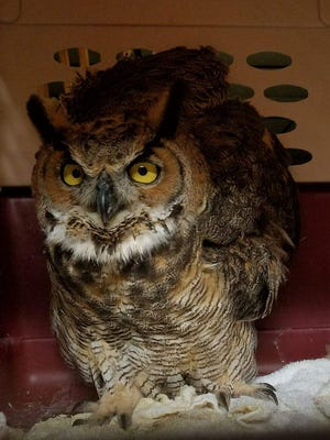 Link, a great horned owl, will be released at the Greenwood Energy Center Saturday.