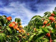 RECIPES: Peach Summer Delight