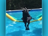 Fainting Goat Goes Swimming and More