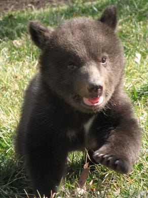 2011: Baily, a European brown bear, was born at Six Flags Great Adventure in Jackson.