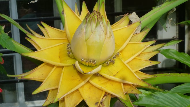 Exotic plants like this yellow-flowering banana are featured in Charles Cresson's Swarthmore garden.