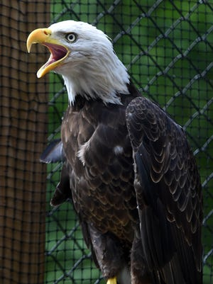 A female American bald eagle has a new home at Radnor Lake's  Barbara J. Mapp Aviary Education Center.