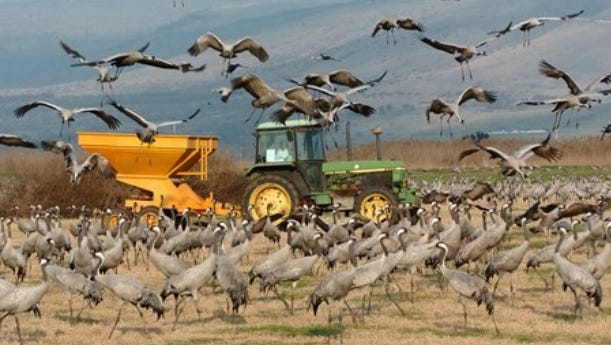 This photo, used in state Rep. James Lower's Oct. 4 PowerPoint presentation before the state House Natural Resources Committee to illustrate the problems sandhill cranes cause for Michigan farmers, actually shows Eurasian cranes in the Hula Valley of Israel, crowding around a tractor used to feed them, in an effort to get them to avoid planted crops. The photo appeared in a January 2017 U.S. Department of Agriculture report.