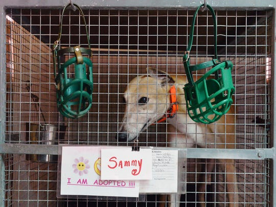 """The Greyhound Rescue Center in Millville are ready for their greyhounds to be adopted like """"Sammy"""".  June 16, 2014.   Staff photo/Craig Matthews"""