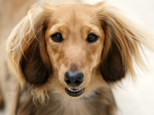 """One-year-old """"Jake,"""" owned by Joe and Marilee Casale, at the Dachshund Club of New Jersey dachshunds-only dog show Sunday at North Branch Park in Bridgewater."""