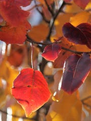 A Bradford pear tree in Abilene turns yellow, orange and dark red in the fall.