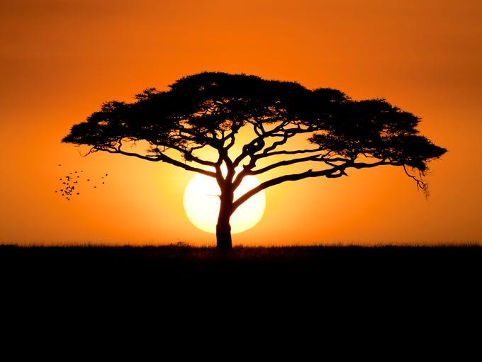 The deep orange sunset silhouettes a single acacia