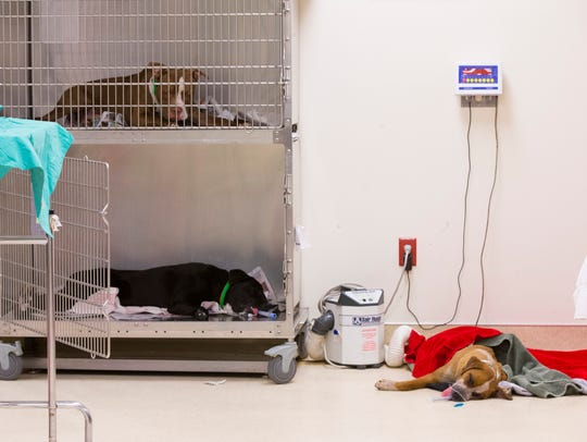 Dogs recover after being spayed and neutered at the
