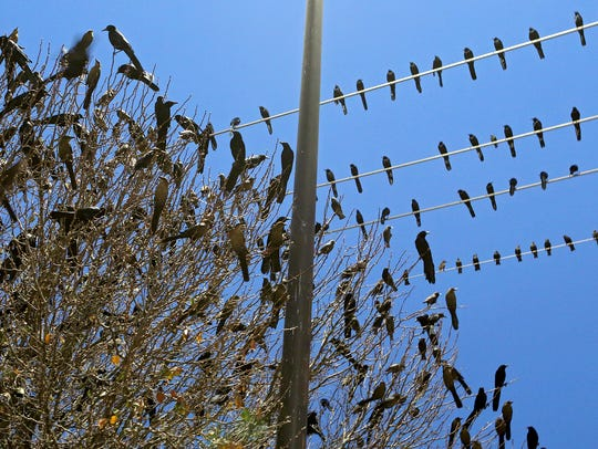 Hundreds of grackles roost in trees and along power