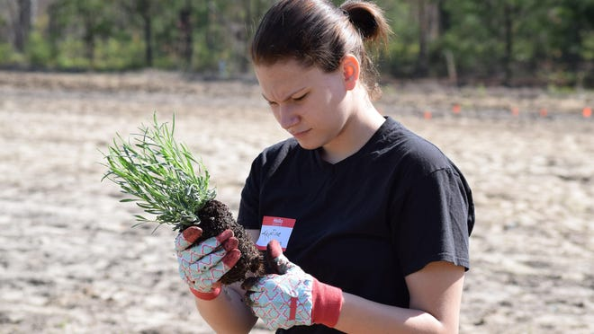 Krystina Locker, 18, of Collings Lakes, a senior at Buena Regional High School, separates the roots on a lavender plant before planting at Eden's Natural Garden in Newfield.