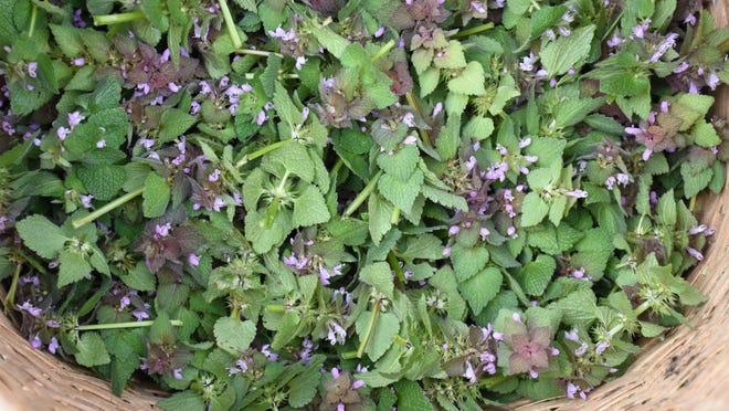 Foraged greens, purple dead nettle