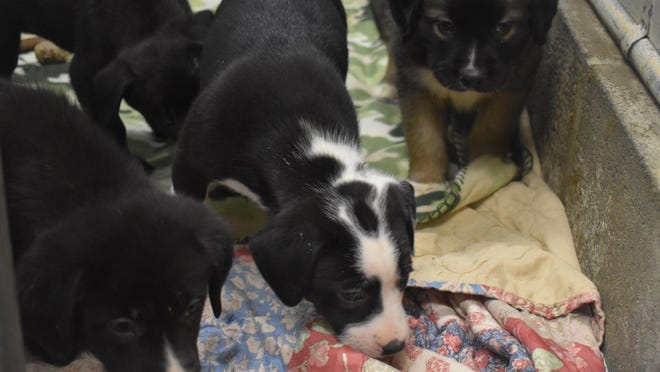 Once they reach two pounds and are at least 8 weeks old, the puppies, and their moms, recently brought to the Middletown Humane Society from Georgia will all be put up for adoption.